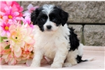 Picture of Precious - Cavachon Female