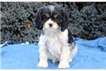 Picture of Bessie - Cavachon Female