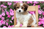 Picture of Mason - Cavachon Male
