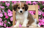 Picture of Marissa - Cavachon Female