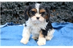 Picture of Bambi - Cavachon Female
