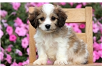 Picture of Max - Cavachon Male