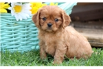 Picture of Alex - Cavachon Male