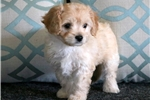 Picture of Lilly - Cavachon Female
