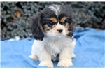 Picture of Buttercup - Cavachon Female
