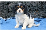 Picture of Blissful - Cavachon Female