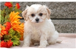 Picture of Paws - Cavachon Male