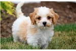 Winky - Cavachon Male | Puppy at 9 weeks of age for sale