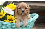 Picture of Abe - Cavachon Male