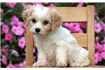 Picture of Mindy - Cavachon Female