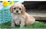 Picture of Ava - Cavachon Female