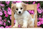 Picture of Melody - Cavachon Female