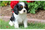 Picture of Candy - Cavalier Female