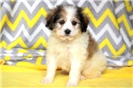 Picture of Furry - Cavalier Mix Male