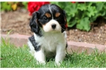 Picture of Cricket - Cavalier Male