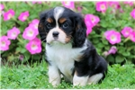 Picture of Harley - Cavalier Male