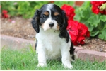 Picture of Cosby - Cavalier Male