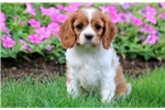 Picture of Bethany - Cavalier Female