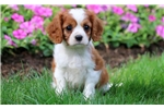 Picture of Zillow - Cavalier Male
