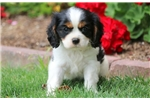 Picture of Charlotte - Cavalier Female