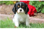 Picture of Chloe - Cavalier Female