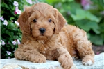Picture of Lucy - Cavapoo Female