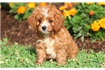 Picture of Wishes - Cavapoo Female