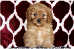 Picture of Willow - Cavapoo Female