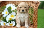 Picture of Sonny - Cavapoo Male