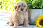 Picture of Chase - Cavapoo Male