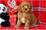 Picture of Rocket - Cavapoo Male