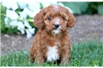 Picture of Gino - Cavapoo Male