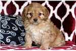 Picture of Winnie - Cavapoo Female