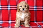 Picture of Apricot - Cavapoo Female
