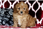 Picture of Whiskers - Cavapoo Male