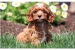 Picture of Hillary - Cavapoo Female