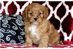 Picture of Willy - Cavapoo Male