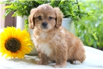 Picture of Champ - Cavapoo Male