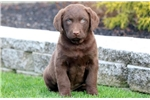 Picture of Comet - Chesapeake Bay Retriever Male