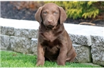 Picture of Christmas - Chesapeake Bay Retriever Female