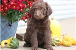 Picture of Clair - Chesapeake Bay Retriever/Poodle Mix Female