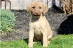 Picture of Beverly - Chesapeake Bay Retriever Female