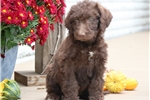 Picture of Callie- Chesapeake Bay Retriever/Poodle Mix Female