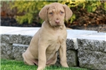 Picture of Cinnamon - Chesapeake Bay Retriever Female