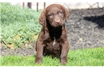 Picture of Beauty - Chesapeake Bay Retriever Female
