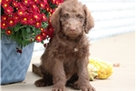 Picture of Carter - Ches Bay Retriever/Poodle Mix Male