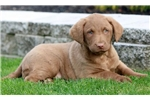 Picture of Caramel - Chesapeake Bay Retriever Female