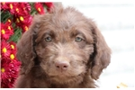 Picture of Cherry- Chesapeake Bay Retriever/Poodle Mix Female