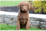 Picture of Cookie - Chesapeake Bay Retriever Female