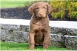 Picture of Candy Cane - Chesapeake Bay Retriever Female